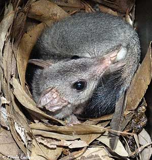 Brush-tailed_Phascogale_Eileen_Collins300